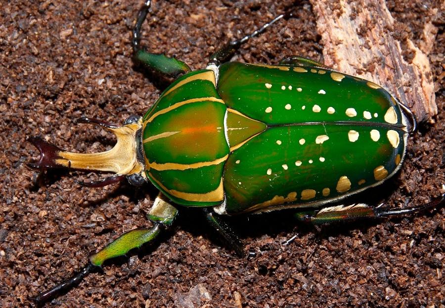 mp花金龟 想与甲虫们亲密互动 感受那亮亮的甲壳下的神奇吗?图片