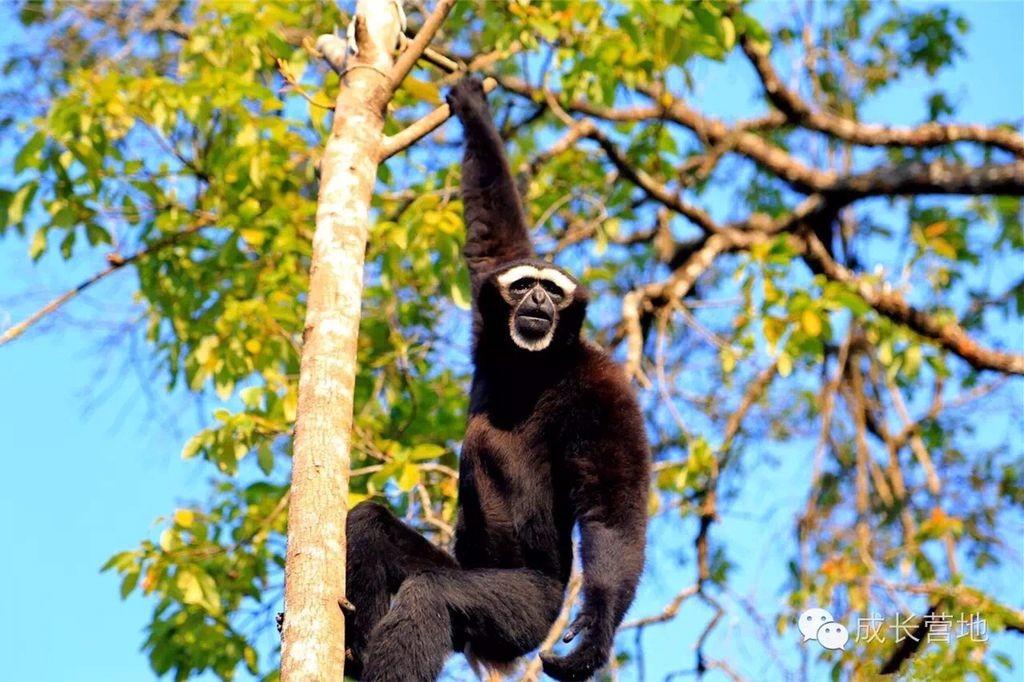 跟随保护区工作人员一起寻找东白眉长臂猿和其它野生动物的踪迹.