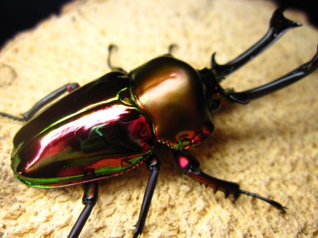 mp花金龟    想与甲虫们亲密互动    感受那亮亮的甲壳图片