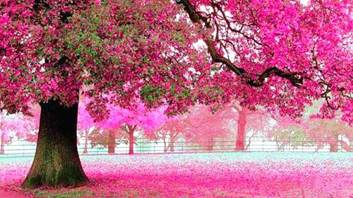 粉色樱花壁纸手绘风