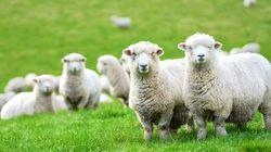 牛多羊多的新西兰