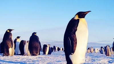 拍摄帝企鹅群落