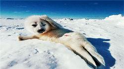 格陵兰海豹