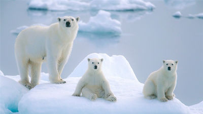 一生一次,邂逅极地王者北极熊