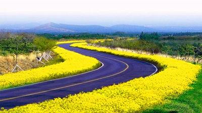 济州岛油菜花之路