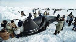 Oqaatsut捕鲸现场