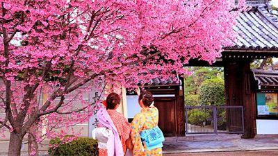 樱花树下的少女