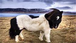 世界血统最纯的冰岛矮脚马