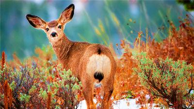黄石公园的雪地野生动物