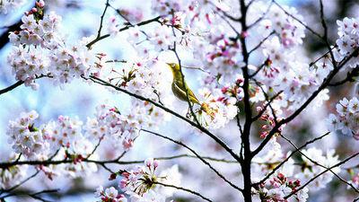 京都威斯汀酒店樱花丛中的暗绿绣眼鸟