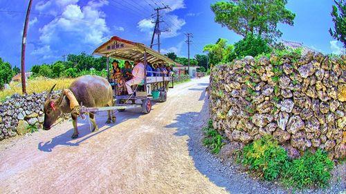 竹富岛水牛车