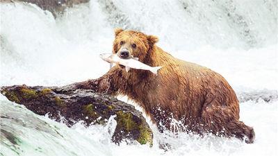 野生灰熊捕食鲑鱼精彩瞬间