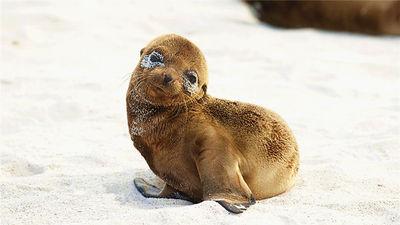 加拉帕戈斯小海狮