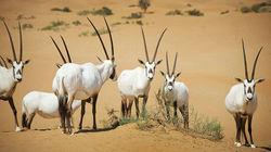 沙漠腹地追逐羚羊