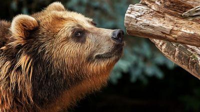 阿拉斯加 野生灰熊