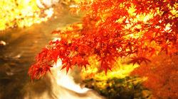 中野枫叶映衬溪流