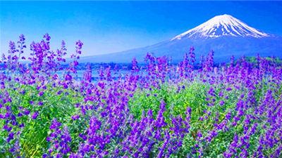 富士山薰衣草