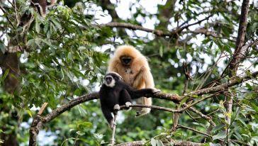 Chiang Mai Flight of Gibbon2