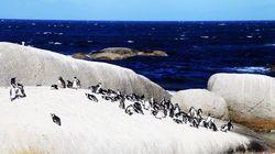 西蒙小镇企鹅