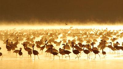 纳库鲁湖火烈鸟