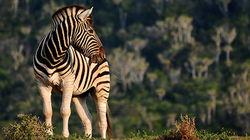 克鲁格国家公园保护区斑马
