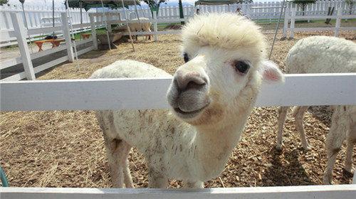 可爱小羊驼