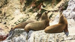 鸟岛上慵懒的海豹