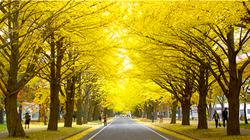 札幌美丽的银杏树