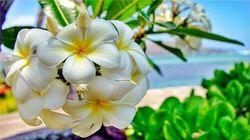 夏威夷之花—鸡蛋花
