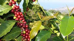 科纳咖啡历史农园