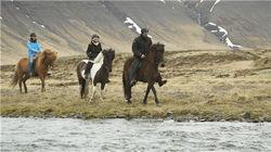 冰岛矮脚马