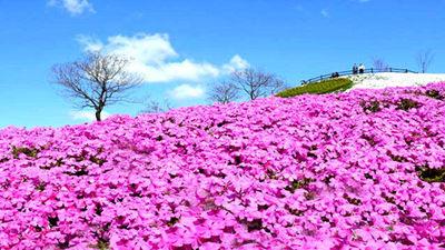 粉红地毯-芝樱