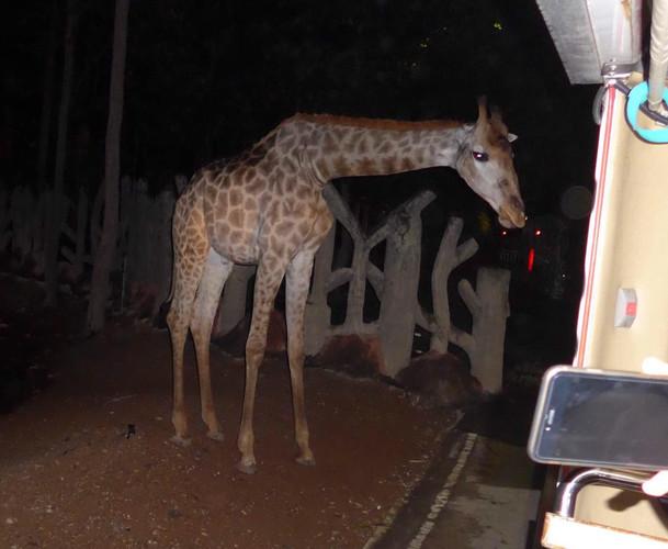 【清迈夜间动物园】我们是坐在游览车上,灭灯,有动物时,用偷拍的,可