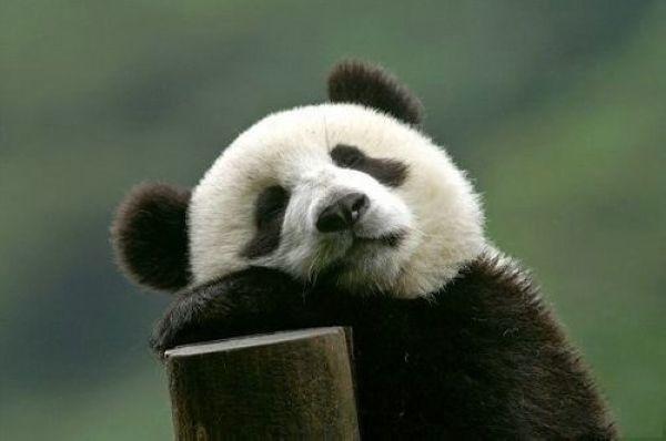 成 都 的 熊猫  它是一种活泼可爱的珍贵动物.