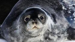 表情超萌的威德尔海豹