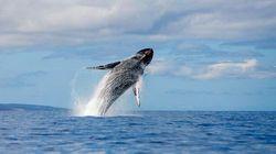 茂宜岛观鲸