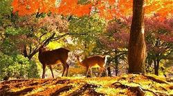 小鹿徜徉在秋色中