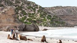 袋鼠岛海豹湾