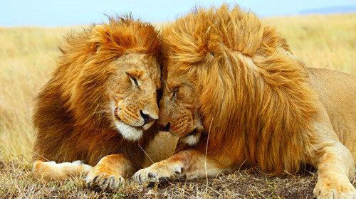 壁纸 动物 狮子 桌面 500_280
