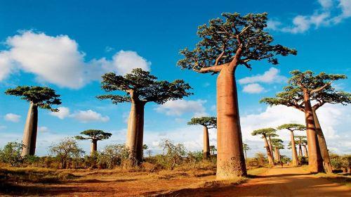 马达加斯加9日跟团游·猴面包树大道+东西部热带雨林
