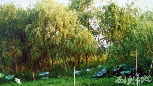 西溪湿地植物