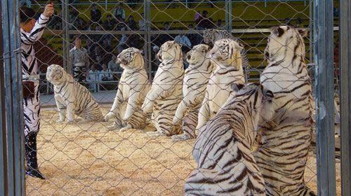 香江野生动物世界-白虎表演-1