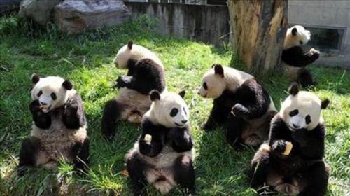 雅安野生动物园 熊猫