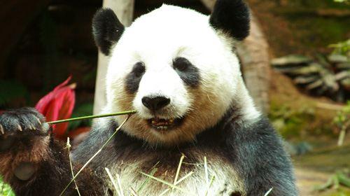 泰国把动物涂成熊猫