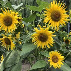 Home of Sunflower User Photo