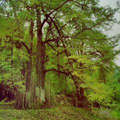 Longmen Field Ancient Ginkgo User Photo