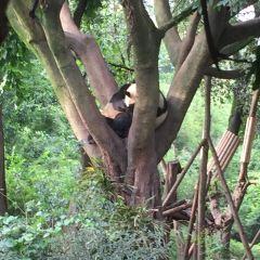 Chengdu Research Base of Giant Panda Breeding User Photo