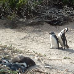 南非企鵝生態保護區用戶圖片