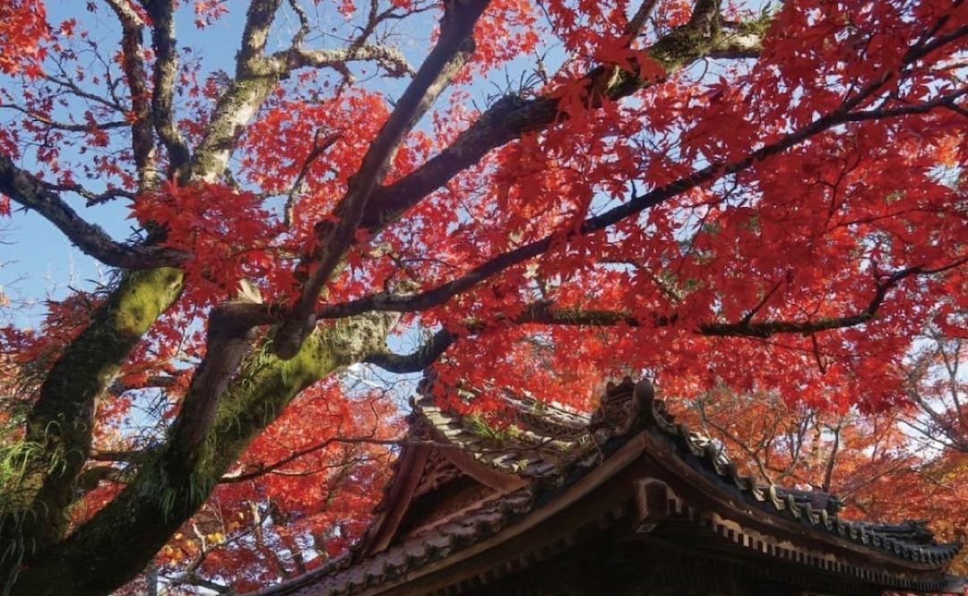 【修善寺自然公園】 紅葉の見頃は11月上旬~12月上旬