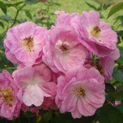 玫瑰山莊用戶圖片
